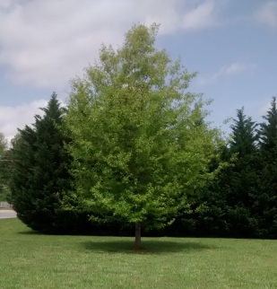Gene Tree