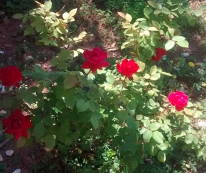 Tia Rose Bush 1